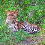 Alex found us an experience with the elusive leopard.  This was about 10 feet from us.  He was s