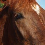 Cavall de trot