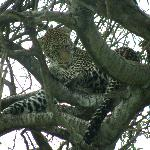More Trees More Leopard