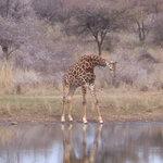 Giraffe at chalets