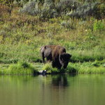 Bison getting a drink at Trout Lake.