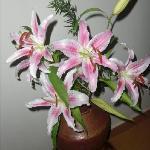 Fresh Lillies