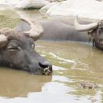 くつろいでいる水牛たち