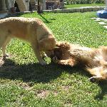 Golden Retrievers at Melis Hotel