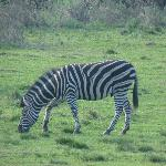 Zebra in the Rothman Manor Paddock