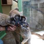 Junge Lemuren im Zoo von Tana.