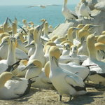 The nesting colony of Cape Gannets at Lamberts Bay is one of only six such colonies in the world