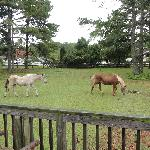 Ponies on the property