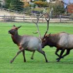 Rutting season on the golf course