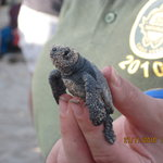 Turtle Walks & Hatchery Visits