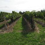 Cabernet vineyard at Peller