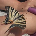 Tiger Swallowtail Butterfly after wet rescue!