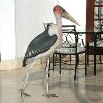 Marabou stork on the dining patio