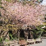 Cherry blossoms in the Disney Park :)
