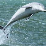 Surfing Dolphin in Koombana Bay, Bunbury