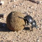Dungbeetle at Addo Park