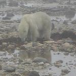 polar bear on the tundra