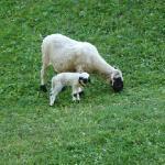 Hike view - Sheep