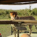 Cheetah on the hood of our safari vehicle, inside the Mara Bushtops Conservancy