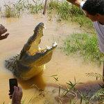 Feeding a crocodile