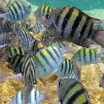 The most common fish seen at Yal-Ku