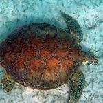 Sea turtle at Akumal Beach