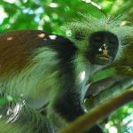 Zanzibar Red Colobus monkey in Jozani Forest