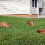 Ukee deer