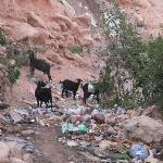 Garbage eating Goats