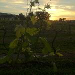 Sun setting over the vineyard