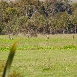 Kangaroos, deer and other wildlife
