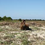 Young horse resting on Shackleford Island