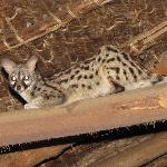Janet the genet cat, that Hamish led us to