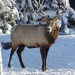 Elk in Backyard