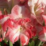 Beautiful flowers in the Brisan garden