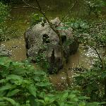 Asian Rhino - part of the local wildlife