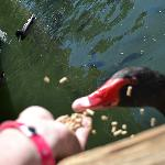 50 cent duck food to feed the cool birds and fish