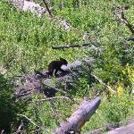 Bear cub in Yellowstone