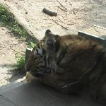 One of the Amur Tigers, up close... the children could almost touch it
