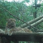 The leopard taking it easy