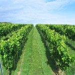 Eastcott Vineyard