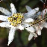 Edelweiss in Montagna