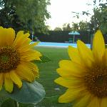 our sunflowers by the pool