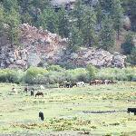 Tarryall RR herd
