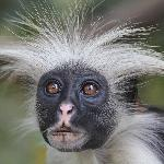 Be sure to arrange a side excursion to Jozani Chwaka Bay National Park to see the red Colobus mo