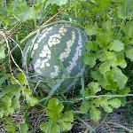 watermelon in our farm at Melamchi village