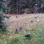 Wild turkeys from our deck