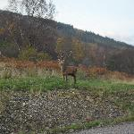 Stag visiting Lochaber Lodges