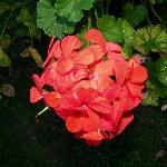 Beautiful flower in Cottage Garden