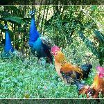 不怕人的美麗的孔雀和公雞!!!